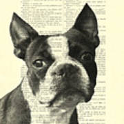 Boston Terrier Portrait In Black And White Poster