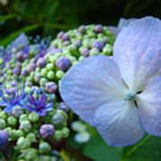 Botanical Garden Blue Hydrangea Flowers Baslee Troutman Poster