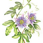 Botanical Illustration Passion Flower Poster