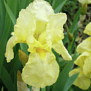 Botanical Yellow Iris Flower Summer Floral Art Baslee Troutman Poster