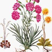Botany: Flowers, 1613 Poster