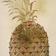Botany: Pineapple, 1585 Poster