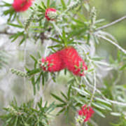 Bottlebrush Poster