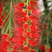 Bottlebrush Tree Poster