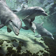 Four Bottlenose Dolphins Hawaii Poster