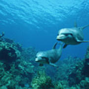 Bottlenose Dolphins And Coral Reef Poster