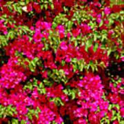 Bougainvillea And Foliage Poster