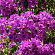 Bougainvillea Blooms Poster