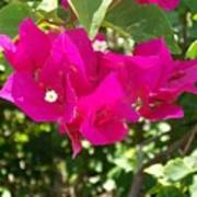 Bougainvillea Boogey Poster