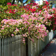 Bougainvillea In Old Eau Gallie Florida Poster