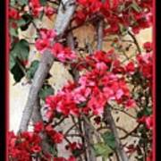 Bougainvillea On Mission Wall - Digital Painting Poster