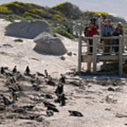 Boulders Beach Penguins Poster