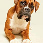 Boxer Dog On Ivory Backdrop Poster