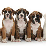 Boxer Puppies Poster by Mark Taylor
