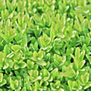 Boxwood Leaves Poster