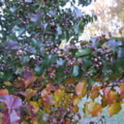 Bradford Pear Tree With Berries Poster