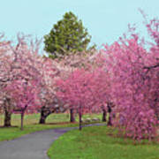 Branch Brook Cherry Blossoms II Poster