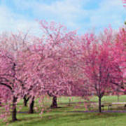 Branch Brook Cherry Blossoms Poster