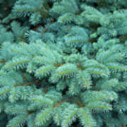 Branches Of Blue Spruce Poster