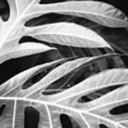 Breadfruit Tree Leaves Poster