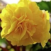Breathtaking Begonia Poster