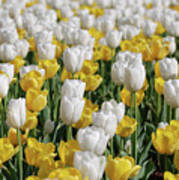 Breathtaking Field Of Blooming Yellow And White Tulips Poster