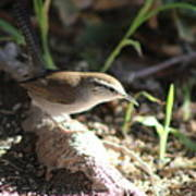 Breswick Wren On Tree Root 2 Poster