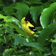 Bright American Goldfinch Poster