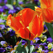 Bright And Colorful Orange And Red Tulip Flowering In A Garden Poster