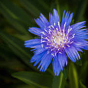 Bright Blue Aster Poster