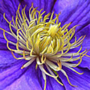 Bright Clematis Center Poster