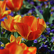 Bright Colored Garden With Striped Tulips In Bloom Poster