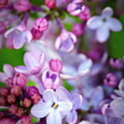 Bright Lilacs Poster by The Forests Edge Photography - Diane Sandoval