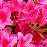 Bright Pink Rhododendrons Poster