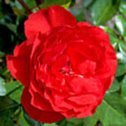 Bright Red Rose At Pilgrim Place In Claremont-california  Poster