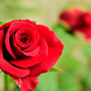 Bright Red Rose Poster