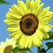 Bright Yellow Sunflower Art Prints Blue Sky Baslee Troutman Poster