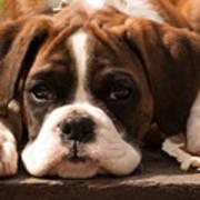 Brindle Boxer Pup Poster by Bel Menpes