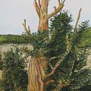 Bristle Wood Pine Poster