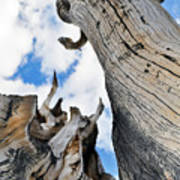 Bristlecone Great Basin Portrait Poster