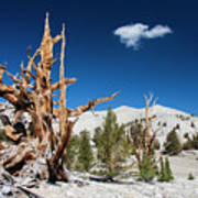 Bristlecone Pine - Pinus Longaeva Poster