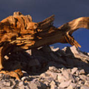 Bristlecone Pine - White Mountains Poster