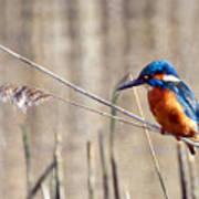 British Kingfisher Poster