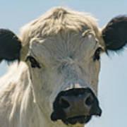 British White Cow Poster