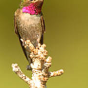 Broad-tailed Hummingbird Sitting Boldly On Perch Poster