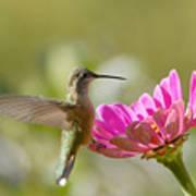 Broadbilled Hummingbird Poster