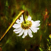 Broken Hearted Oxeye Daisy Asteraceae  Poster