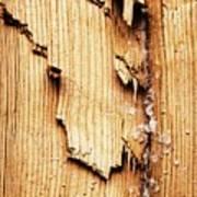 Broken Old Stump Spruce Poster