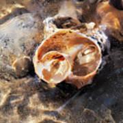 Broken Whelk Shell Poster
