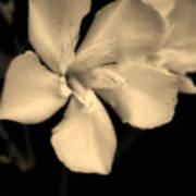 Bronze Frost White Flower Poster